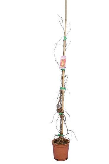 Parthenocissus tric. Veitchii pot Ø 18 cm