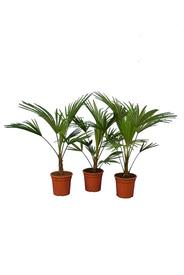 Trachycarpus sp. Nova - totale hoogte 80-100 cm - pot Ø 21 cm - set van 3