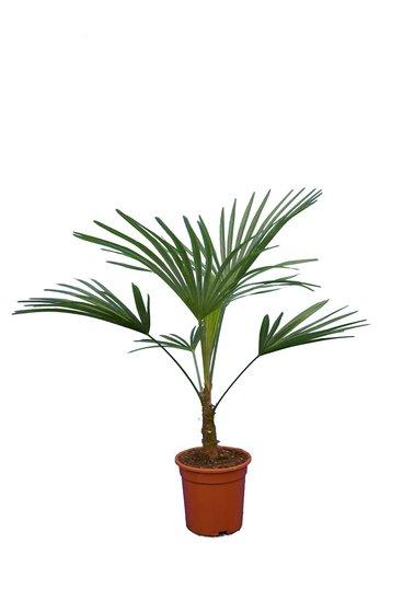 Trachycarpus sp. Nova - totale hoogte 80-100 cm - pot Ø 21 cm