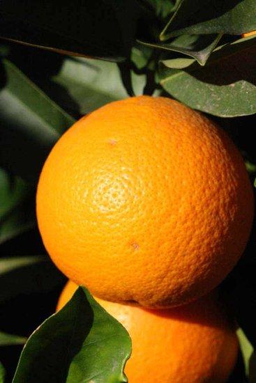 Citrus sinensis - totale hoogte 80-100 cm - pot Ø 22 cm
