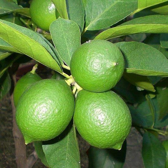 Citrus Limequat - totale hoogte 140-160 cm - pot Ø 35 cm