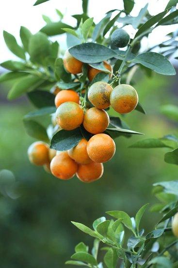 Citrus Kumquat - totale hoogte 120-140 cm - pot Ø 28 cm