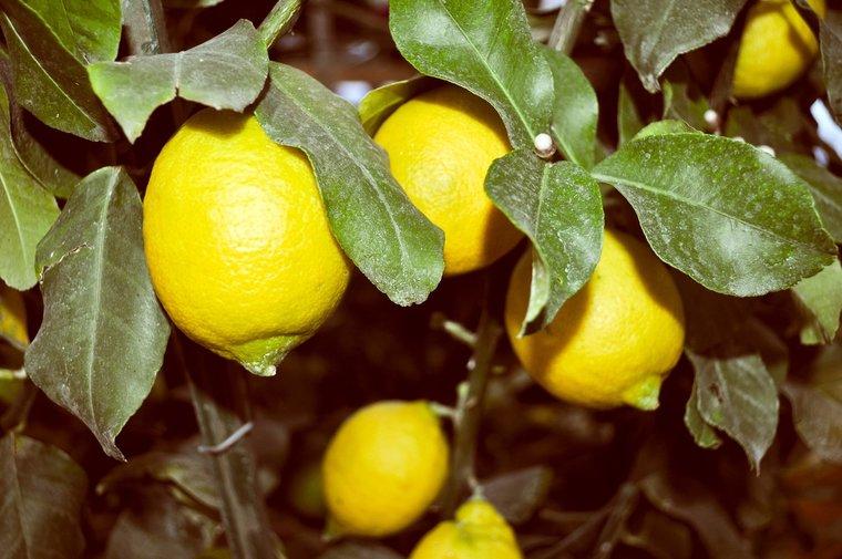 Citrus limon - totale hoogte 160-180 cm - Ø 26 cm pot