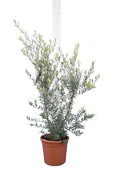 Olea europaea Wild Form - totale hoogte 170-190 cm - pot Ø 26 cm