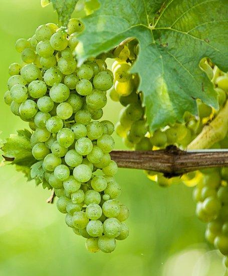 Vitis vinifera - Ø 20 cm pot