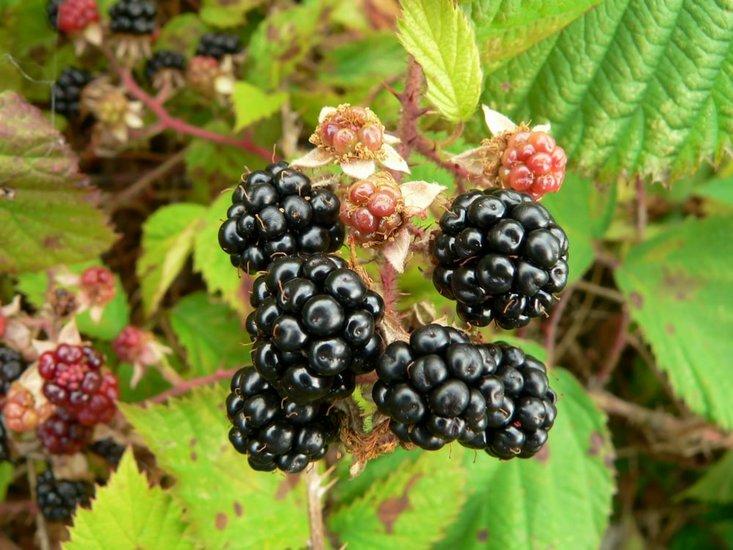 Rubus fruticosus 2 Ltr pot