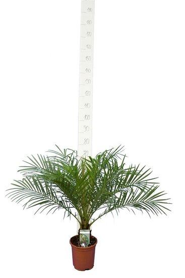 Phoenix roebelenii - stam 5-10 cm - totale hoogte 60-80 cm - pot Ø 20 cm