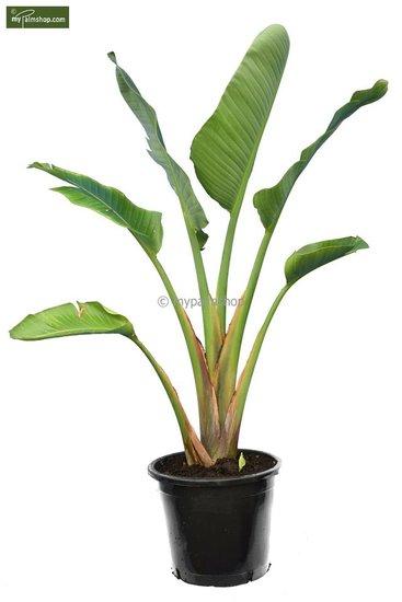 Strelitzia nicolai - totale hoogte 160-180 cm - pot Ø 38 cm [pallet]