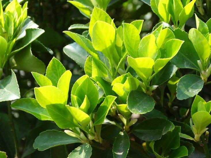 Camellia chinensis P14