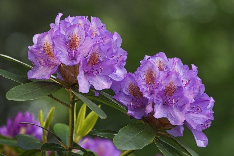 Rhododendron Ramapo impeditum