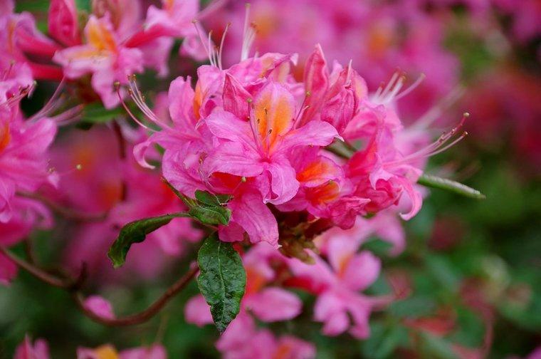 Rhododendron Canzonetta