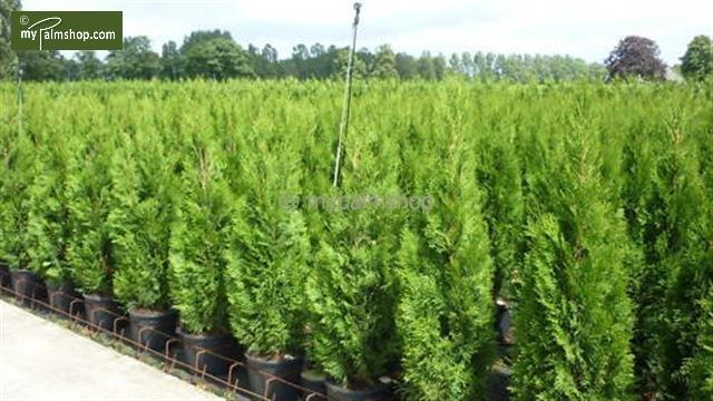 Thuja occidentalis Smaragd (POTPLANT) - totale hoogte 80-100 cm - pot 4 ltr