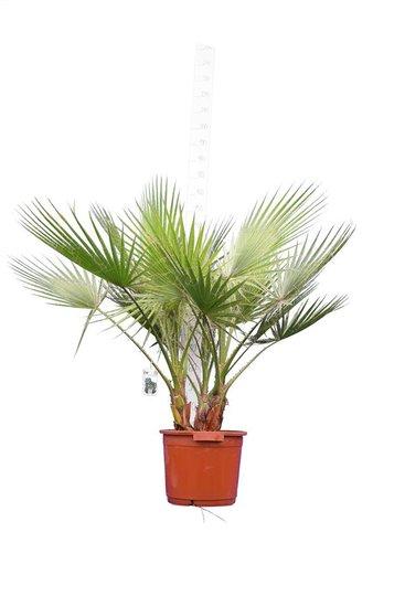 Washingtonia robusta Multistam pot Ø 40 cm - totale hoogte 130-150 cm [pallet]
