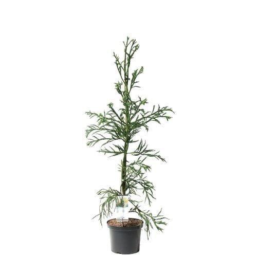 Cryptomeria japonica Rasen - totale hoogte 100-120 cm - pot 5 ltr