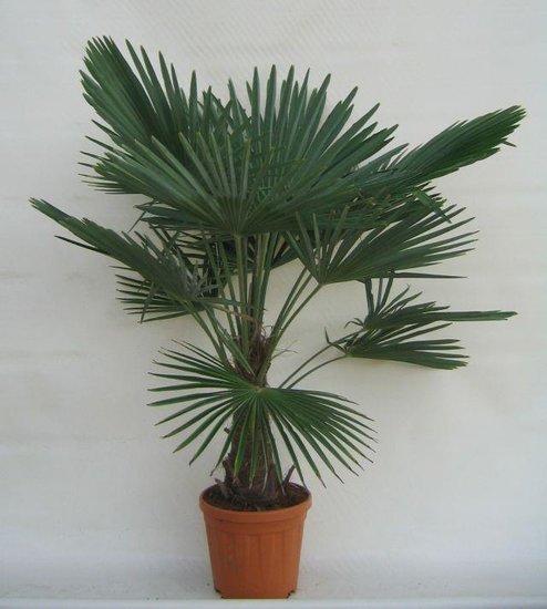 Trachycarpus fortunei - stam 25-35 cm - totale hoogte 130-150 cm - pot Ø 30 cm