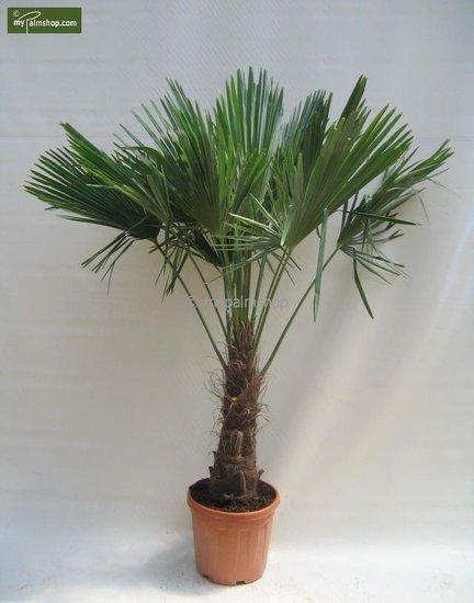 Trachycarpus fortunei - stam 60-70 cm - totale hoogte 180+ cm - pot Ø 40 cm [pallet]