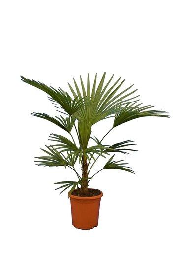 Trachycarpus sp. Nova - stam 20-30 cm - totale hoogte 100-120 cm - pot Ø 26 cm