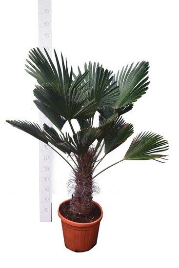 Trachycarpus wagnerianus stam 30-40 cm - totale hoogte 110-130 cm - pot Ø 35 cm