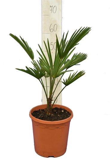 Trachycarpus wagnerianus - totale hoogte 50-70 cm - pot Ø 23 cm