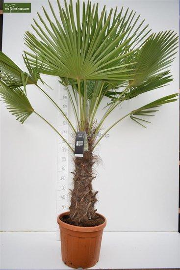 Trachycarpus fortunei - stam 70-80 cm - totale hoogte 180-220 cm - pot Ø 40 cm  [pallet]
