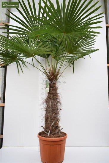 Trachycarpus fortunei - stam 80-100 cm - totale hoogte 200+ cm - pot Ø 48 cm [pallet]