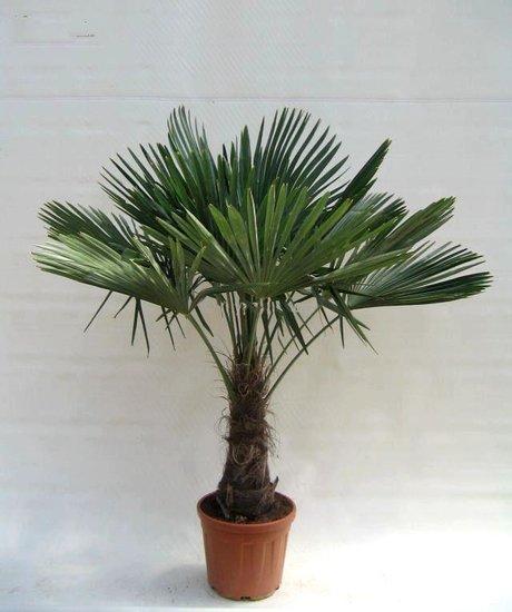 Trachycarpus fortunei - stam 40-50 cm - totale hoogte 150-180 cm - pot Ø 36 cm