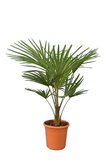 Trachycarpus fortunei  - stam 15-25 cm - totale hoogte 90-120 cm - pot Ø 26 cm