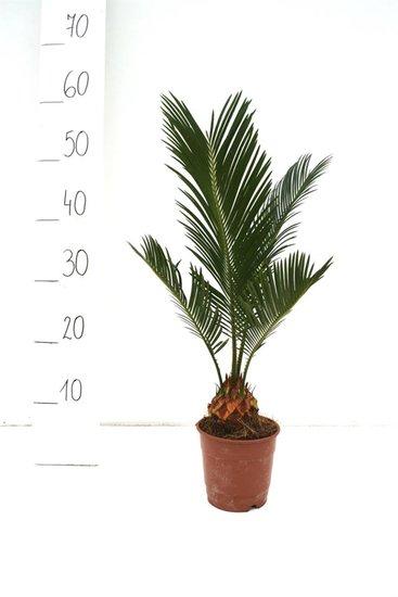 Cycas revoluta - totale hoogte 35-45 cm - Ø 12 cm pot