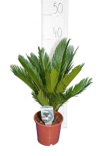Cycas revoluta - totale hoogte 35-45 cm - pot Ø 14 cm