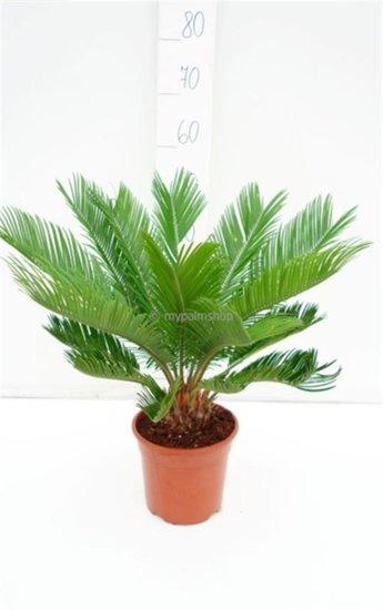 Cycas revoluta - totale hoogte 60-80 cm - pot Ø 18 cm