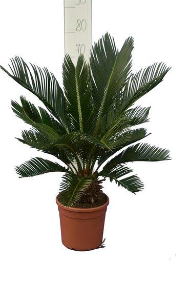 Cycas revoluta - stam 8+ cm - totale hoogte 50-70 cm - pot Ø 20 cm