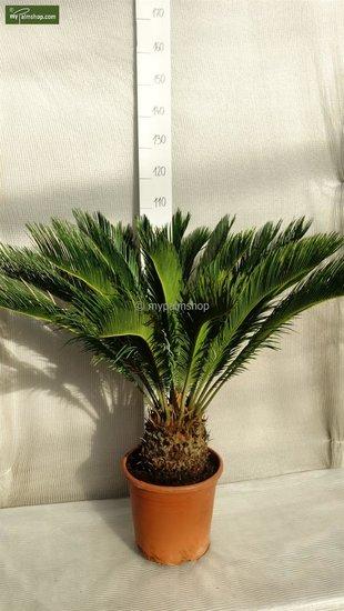 Cycas revoluta - totale hoogte 55-65 cm - stam 20 cm - pot Ø 35cm [pallet]