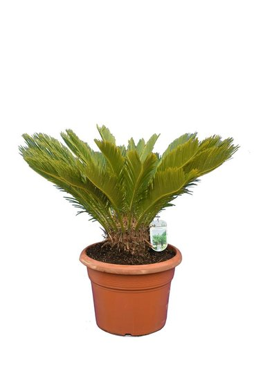 Cycas revoluta - totale hoogte 70-90 cm - pot Ø 38 cm [pallet]