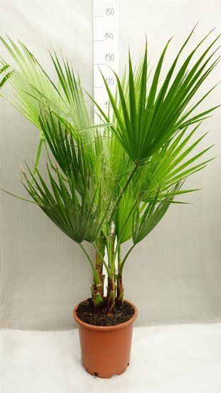 Washingtonia robusta Multistam - totale hoogte 120-140 cm - pot Ø 26cm