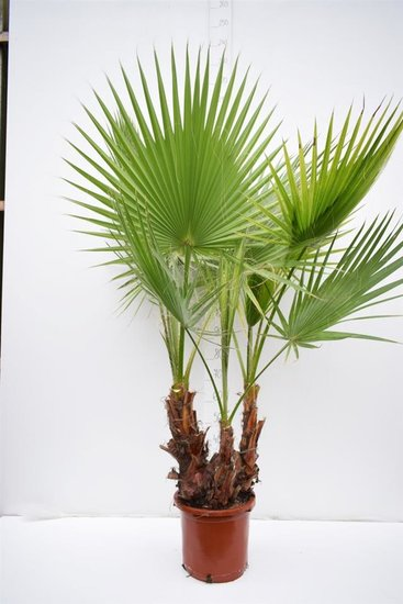 Washingtonia robusta Multistam - totale hoogte 140+ cm - pot Ø 35cm