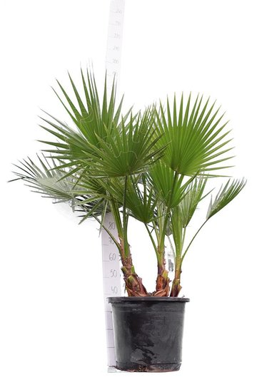 Washingtonia robusta Multistam - totale hoogte 140-160 cm - pot Ø 45 cm [pallet]
