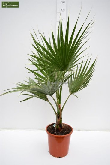 Washingtonia robusta - totale hoogte 100-130 cm - pot Ø 26 cm