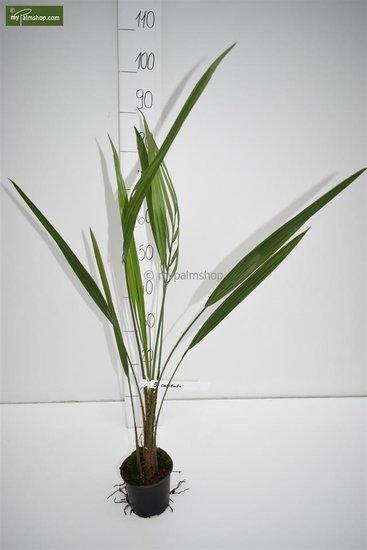 Butia capitata var. odorata - totale hoogte 30-40 cm - pot Ø 12 cm