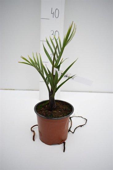 Dypsis decaryi - totale hoogte 30-40 cm -pot Ø 13 cm