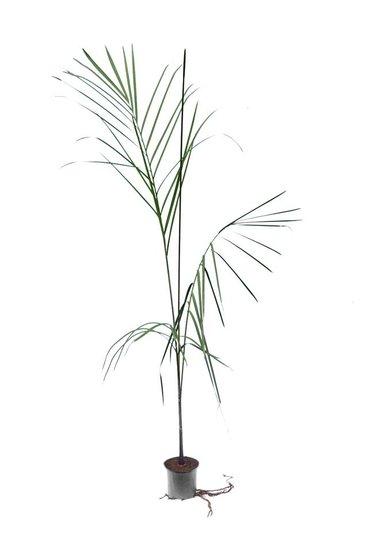 Dypsis plumosa - totale hoogte 100-120 cm - pot Ø 12 cm
