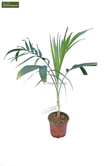Chamaedorea radicalis - totale hoogte 40-50 cm -pot Ø 13 cm