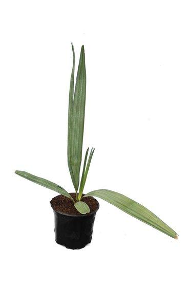 Sabal gretheriae - totale hoogte 40-50 cm - pot Ø 13 cm