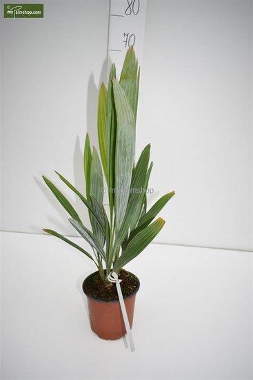 Acoelorraphe wrightii -  totale hoogte 50-60 cm - pot Ø 15 cm