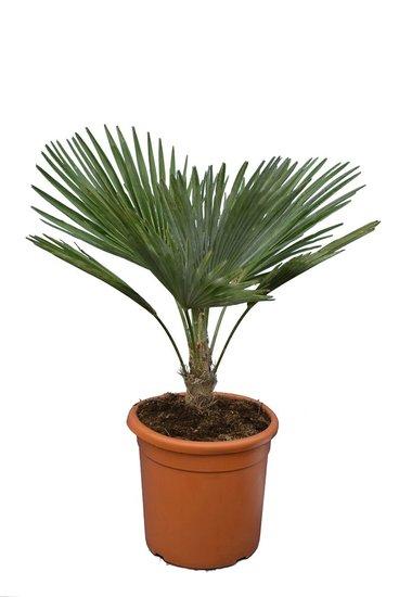 Trachycarpus princeps - stam 5-15 cm - totale hoogte 60-80 cm - pot Ø 30 cm