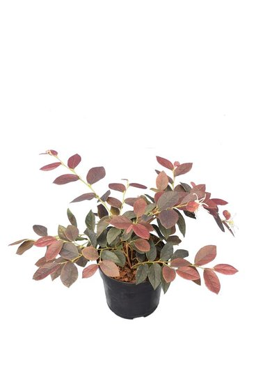 Loropetalum Chinese Ruby Snow - totale hoogte 25-35 cm - pot Ø 13 cm