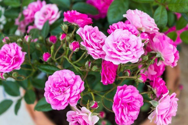 Rosa The Fairy 1 ltr