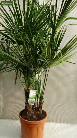 Trachycarpus fortunei ITALY Multitrunk - totale hoogte 150-170 cm - pot Ø 35 cm