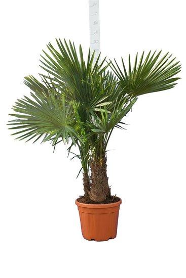 Trachycarpus fortunei Multitrunk - totale hoogte 160-180 cm - pot Ø 45 cm - 35 ltr [pallet]