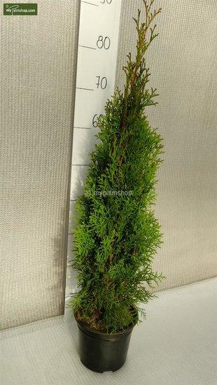 Thuja occidentalis Smaragd (POTPLANT) - 2 Ltr pot - 70-90 cm