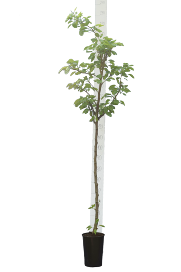 Prunus persica var. platycarpa - pot Ø 26 cm